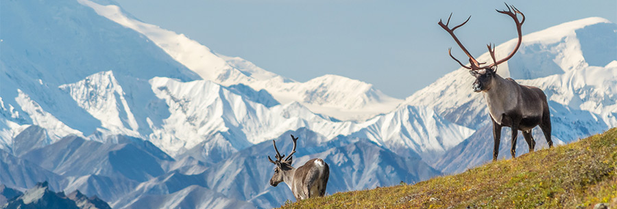 caribou with tall horns in front snow-capped mount Denali
