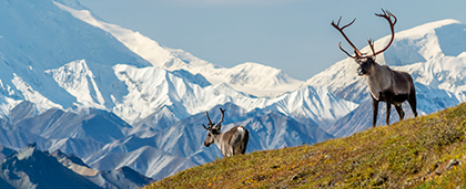 two caribou bulls in front of the Mount Denali
